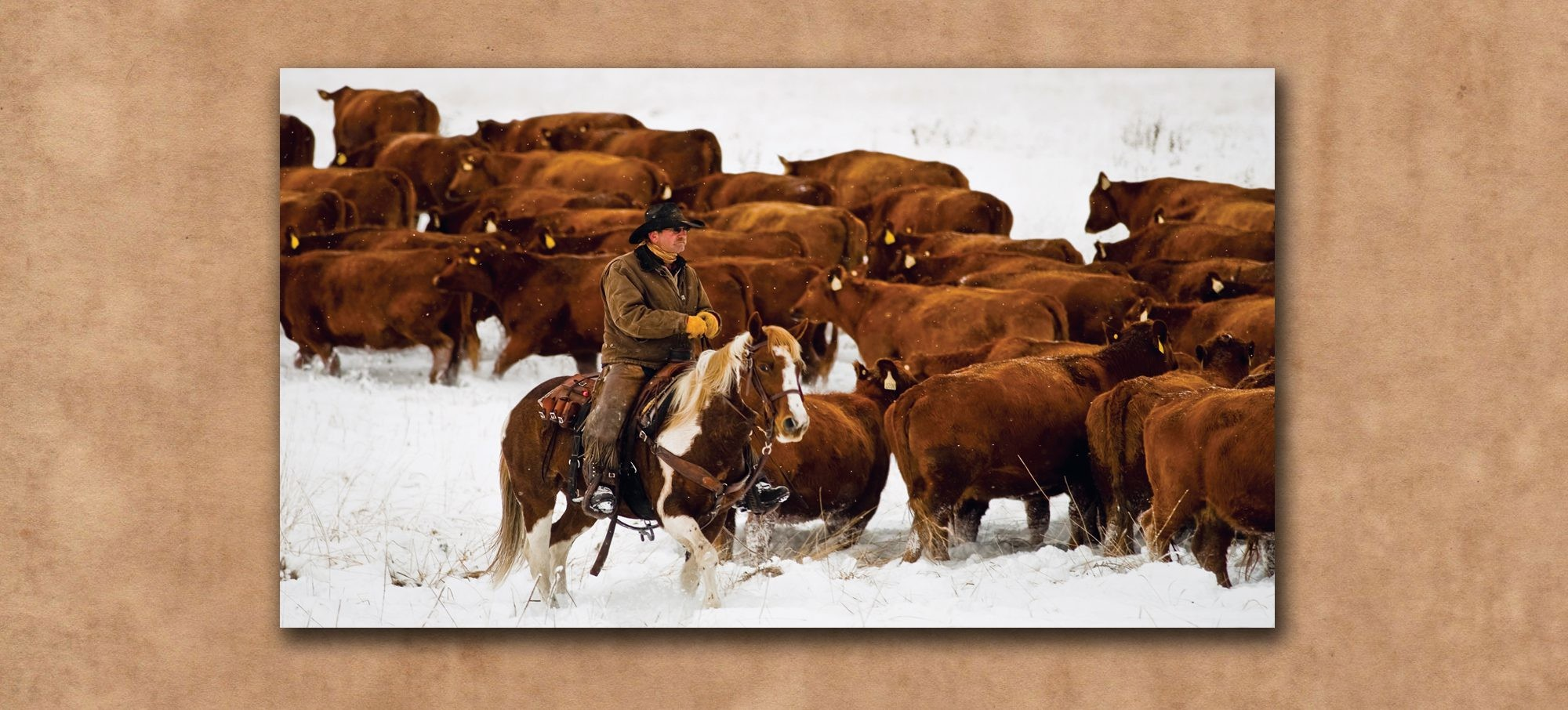 Cowboy on horse herding Red Angus Cattle