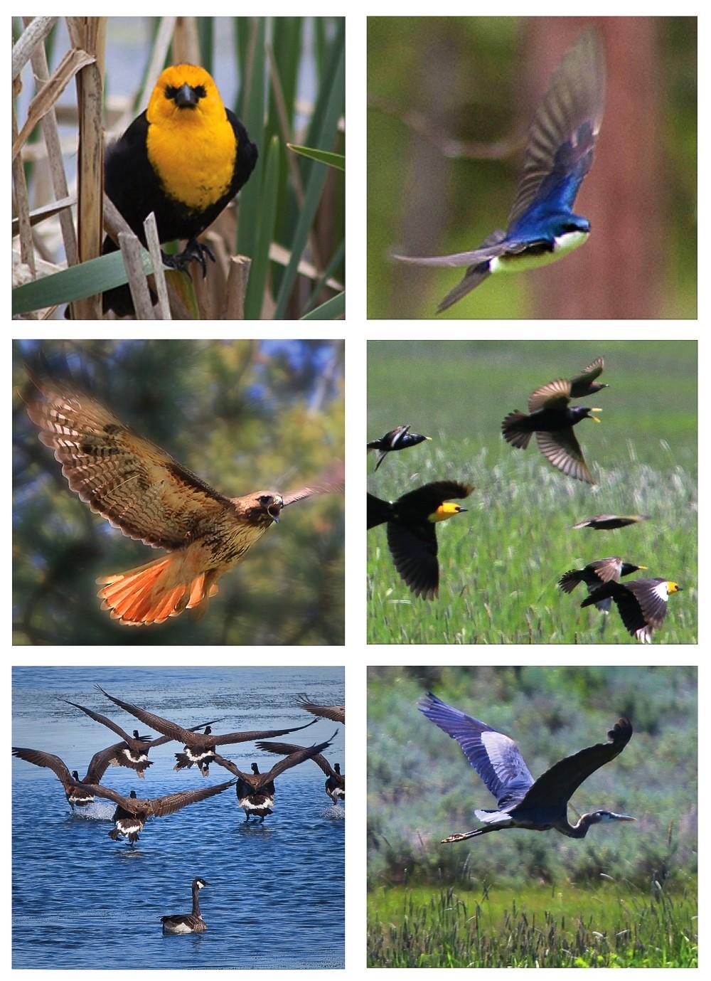 Various bird species of the Blackfoot Valley in Montana.