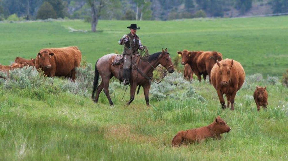 A cowboy herding Meyer Red Angus cattle in a lush, green, bright grassy pasture.