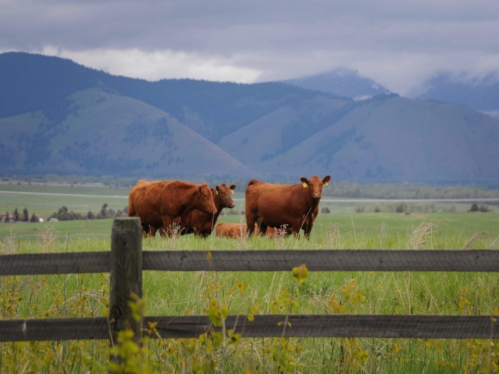 Three Meyer Red Angus cattle behind a wooden fence at the Meyer Company Rach.