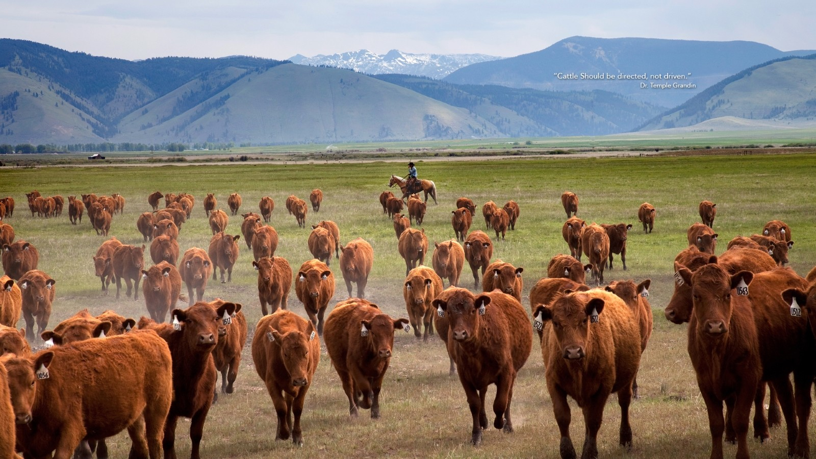 Man on horse in open range herding Red Angus Cattle